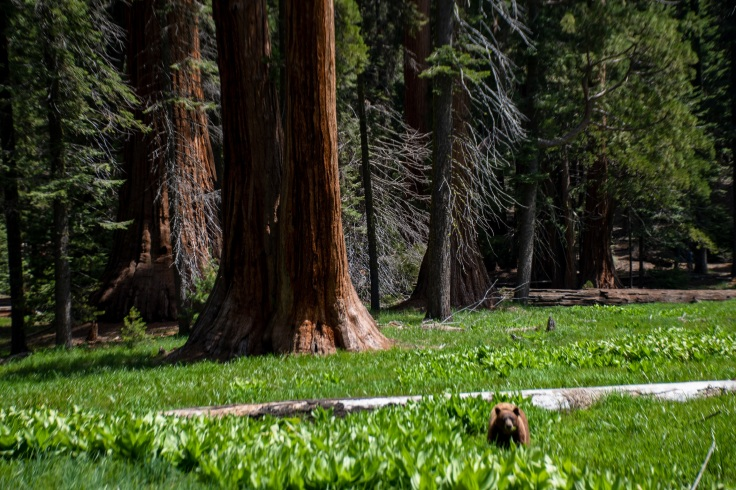 Black Bear Sequoia